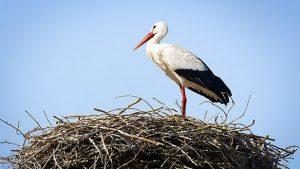 Egyre több gólya marad itthon