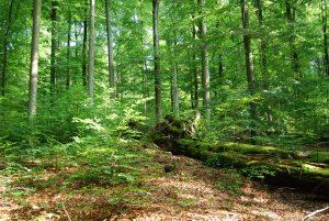 Érintetlen erdőterületek, erdőrészletek és fák a Pilisi Parkerdőben